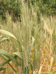 Organic wheat breeding