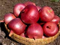 Rossa di Milano onion grown and selected at Stellar Seeds